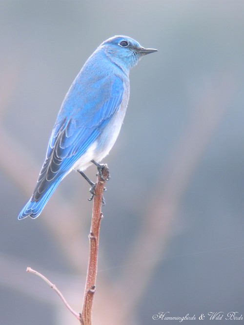 Mountain Bluebird 12101-3