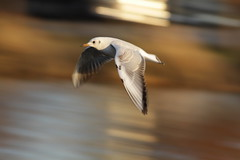 Flying Black-headed Gull (Takashi(aes256)) Tags: bird motionblur panning blackheadedgull 鳥 流し撮り ユリカモメ canonef400mmf56lusm canoneos7d dwcffmotion