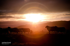 Flare_flock (PeterChad) Tags: winter sunset england sun love field grass fence circle landscape outside twilight mood sheep sundown farm hill farming sheepdog atmosphere jour lancashire flare getty backlit feed farmer ram livestock hilltop chippy contrejour contre transcendent ewe bowland intolight hillsheep