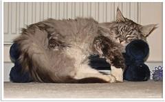 Sofazeit - Couch time (Jorbasa Mwa) Tags: pet animal cat germany deutschland hessen couch sofa mainecoon maxwell katze kater tier tomcat wetterau cc100 couchtime jorbasa blacksilverclassictabby sofazeit