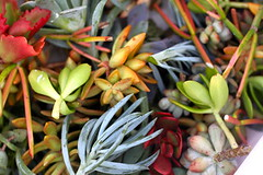 succulents close up by ...love Maegan, on Flickr