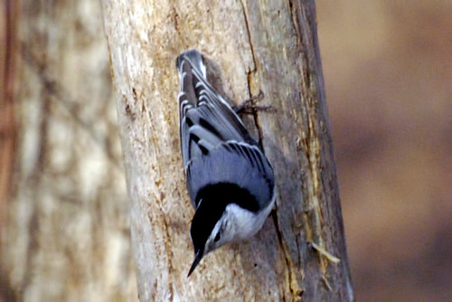 carmel terrace nuthatch