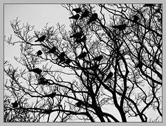 20091230-309347 (sulamith.sallmann) Tags: trees bw plants plant tree bird birds animals silhouette tiere europa many pflanze pflanzen poland polska polen sw vgel bume viele baum tier vogel swinemnde schattenriss einige westpommern sulamithsallmann swinoujcie