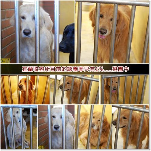 「揪團和徵順風車」宜蘭收容所等待救援的黃金獵犬3隻,一隻有屏東鄉親願意領養,徵順風車或運輸籠,謝謝您,20101216