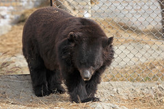 Chowti explores her new home (WSPA Canada) Tags: bear new food home up female doors blind time outdoor structures her give used using explore smell brc were after safe forced took trade period refused baiting sticking borders alternative owner quarantine asiatic enclosure sense herself opened confiscate coaxed timidly chowti liveihood familiarise