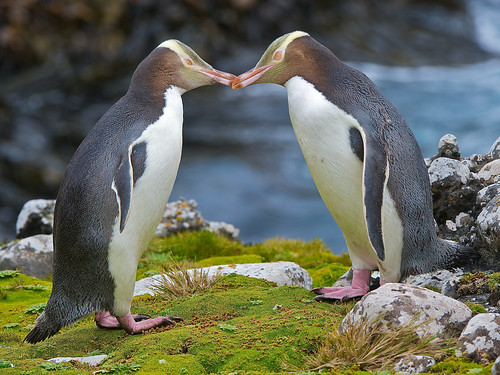 Yellow-eyed Penguins by Robert Cave