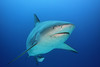 """Bull Shark • <a style=""""font-size:0.8em;"""" href=""""http://www.flickr.com/photos/45090383@N06/5271404281/"""" target=""""_blank"""">View on Flickr</a>"""