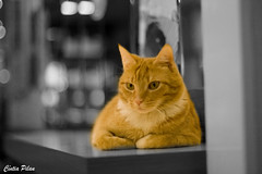 """Cat-out"" (F o t o l i t a) Tags: netherlands amsterdam yellow bar cat 50mm eyes chat bokeh olhos yeux amarelo ojos gato holanda verdes verts"