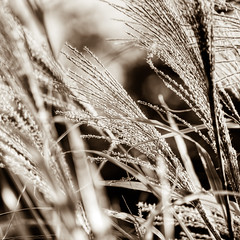 i like grass (nosha) Tags: new november grass newjersey nikon nj jersey split toned 2010 lightroom d300 ilikegrass nosha