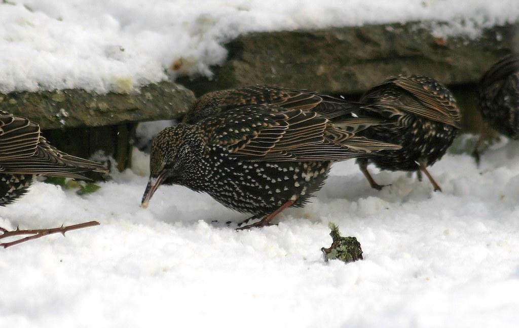 23774 - Starling, Pontarddulais