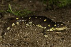 California Tiger Salamander (Ambystoma californiense) (aliceinwl1) Tags: ambystoma ambystomacaliforniense ambystomatidae amphibia amphibian ca california californiatigersalamander caudata chordata esa endangered endangeredspeciesact molesalamander santabarbaracounty californiense endangeredspecies herp listed locnoone salamander viseveryone