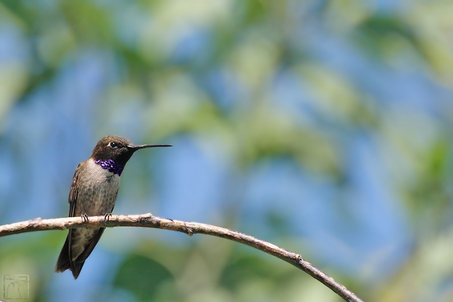 Black Chinned Hummingbird 04101