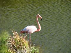 Flamingoes, Punta Moreno - Isabela Island