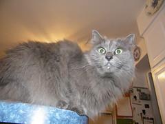Wanda before cleaning the evidence (cseeman) Tags: cats pets milk wanda stealing guilty sneaking
