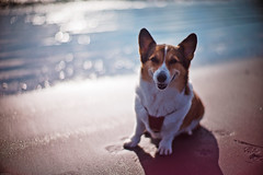 good morning (moaan) Tags: leica morning light dog sunlight beach smile smiling digital 50mm corgi dof bokeh f10 shore utata ripples noctilux welshcorgi shonan 2010 m9 glisten  chigasaki wavelets morningsunlight  pochiko leicanoctilux50mmf10 leicam9 gettyimagesjapanq1 gettyimagesjapanq2