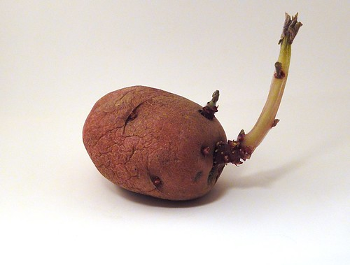 Sprouted potato.