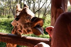 Nairobi Giraffe Centre (Greg McMullin) Tags: eye animal neck long legs skin feeding kenya wildlife centre nairobi hide giraffe toungue