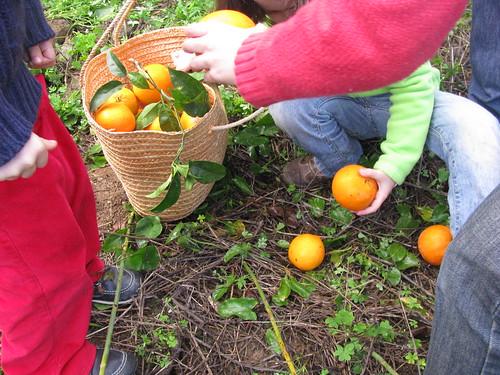 apanhar laranjas