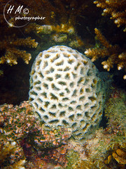 Brain Coral (H . M) Tags: underwater diving