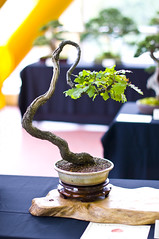 Oak Bonsai Tree (Quercus Robur) at Don Valley Bonsai Roadshow, Sheffield (Steve Greaves) Tags: show old tree green art english leaves training bench season japanese grey miniature spring oak european expo display gardening dwarf branches sheffield small creative roots style indoor exhibit exhibition roadshow growth age bonsai trunk leisure aged horticulture specimen staging cultivation rescued dwarfed literati 2010 livingsculpture southyorkshire donvalley nativespecies collected artform stunted quercusrobur yamadori bonsaipot nikond300 nikon18200mmf3556gifedafsvrdx