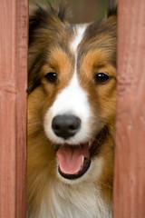 Heeeeere's Keegie! (SavingMemories) Tags: dog pet canon movie happy quote sheltie pup shetlandsheepdog jacknicholson theshining heresjohnny moviequotes horrormovies canonxti miniaturecollie savingmemories suemoffett heeeeereskeegie jacknicholsonquotes canon100mmef28