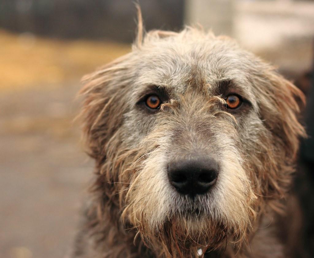 ирландский волкодав собака