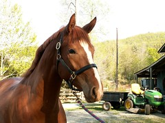 Thoroughbred Horses on the Farm (joanna8555) Tags: horses horse brown tractor barn outdoors star nc pretty ride farm northcarolina hay thoroughbred johndeer hillsborough joanna8555 thejabproj3ct shebbalone wellsmont