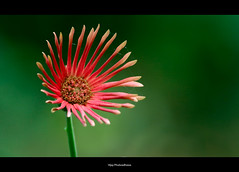 Beauty and the Web.. (Vijay..) Tags: flower nature beauty canon web gerbera bloom greenbackground 397 explored ef70300 vijayphulwadhawa