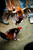 No Cock's Land - cockfight (www.julkastro.co) Tags: news birds rural real colombia south report culture photojournalism traditions folklore cock professional document andes pro sur info tradition cultura journalism cockfight tradicion reportero folclor julkastro wwwjulkastroco julkastrohotmailcom