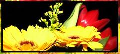 Karins Blumenstrauss  -  mehr Farbe gegen  Trbsal und Regenwetter- Yellow Gerbera and red tulips. (eagle1effi) Tags: flowers red flower macro rot nature yellow fauna canon dark favoriten rouge flora colorful flickr bestof darkness nightshot photos vibrant natur blumen selection powershot foliage gelb gerbera fotos nightshots fiori blume fiore sx1 auswahl beste nachtaufnahme damncool selektion canonmacro blumenstrauss blumenstraus bridgecamera lieblingsbilder eagle1effi byeagle1effi naturemasterclass ae1fave yourbestoftoday canonpowershotsx1is sx1isbest canonpowershotsx1isreferenceshot kanckigbunt tagesbeste