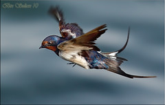 Barn Swallow  () Tags: bird bin sultan qatar     wachers