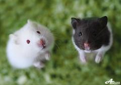 Hungry Mice.. (Explored) (ZiZLoSs) Tags: white black macro green canon mouse eos focus waiting mice 7d hamster hungry usm f28 hamsters aziz ef100mmf28macrousm abdulaziz عبدالعزيز ef100mm zizloss المنيع 3aziz canoneos7d almanie abdulazizalmanie httpzizlosscom