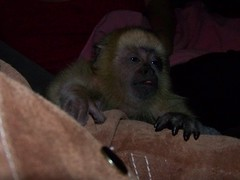 Farrah baby howler monkey on my arm