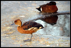 Fulvous Whistling Duck (4737 Carlin) Tags: winter england lake snow bird ice water river garden outdoors frozen geese duck pond stream martin wildlife reserve waterbird goose lancashire naturereserve 7d wetlands trust mallard waterfowl burscough wwt wetland wildfowl 200mm martinmere fulvouswhistlingduck dendrocygnabicolor canon70200mm canonef70200mmf4lusm siteofspecialscientificinterest fulvous wildfowlwetlandstrust specialprotectionarea ramsarsite eos7d canoneos7d wildfowlreserve canon7d martinmerenaturereserve wetlandnaturereserve