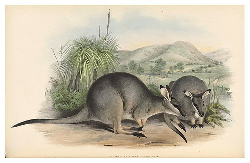 010-Wallaby de guantes negros-The mammals of Australia 1863-John Gould- National Library of Australia Digital Collections