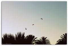 Patos (sacro guerrero) Tags: atardecer aves palmeras andalucia cielo malaga estepona patos