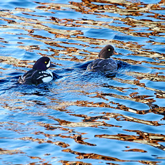 Going for the Gold (Peggy Collins) Tags: ocean blue canada reflections gold couple britishcolumbia ducks pacificocean pacificnorthwest ripples mates penderharbour sunshinecoast avian partners duckcouple ducksswimming barrowsgoldeneyes peggycollins duckpictures