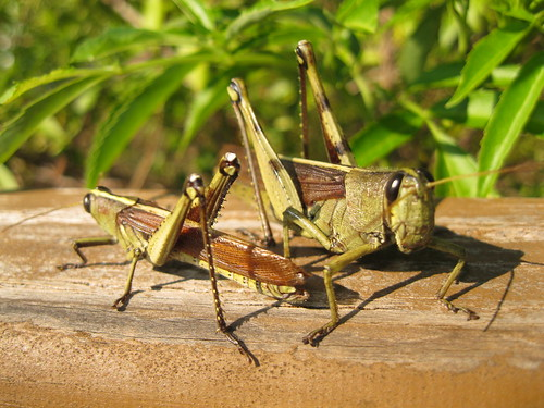 Obscure birdwing grasshoppers (Schistocerca obscura)