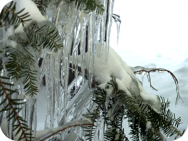 ice on evergreens