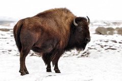 The American Bison (Deby Dixon) Tags: snow nature photography cow washington nikon bison grassland deby allrightsreserved americanbison 2011 bovid debydixon plainsbison debydixonphotography