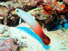 Fire goby, Maldives