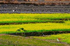 20110118_0095_花東縱谷_油菜花季