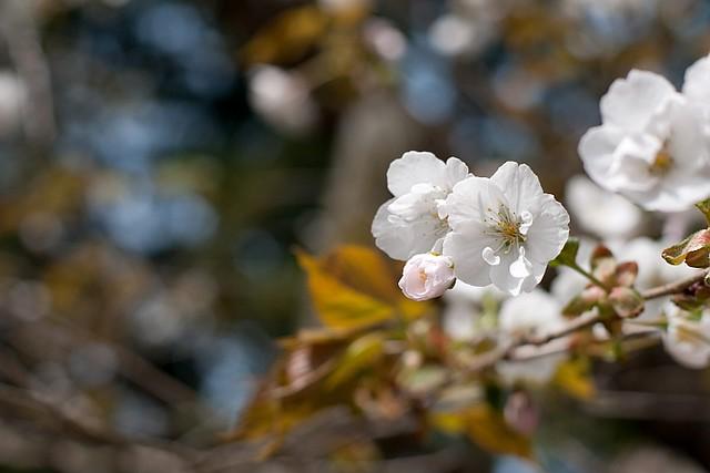 Cherry blossoms in Fukushima4 (Aizu-wakamatsu)