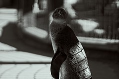 Hello, Yes? (pigpogm) Tags: bird monochrome penguin photos torquay livingcoasts canonfl58f12 mxpp
