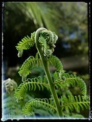 https://en.m.wikipedia.org/wiki/DicksoniaceaeTree fern unfoldings (YAZMDG (16,000 images)) Tags: treeferns shoots ferntree nature snapseed cyatheales httpsenmwikipediaorgwikidicksoniaceae