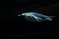 Torpedo Penguin (StephenChaotic) Tags: newportaquarium newportkykentucky penguin underwater torpedo speed bird water light dark