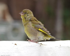 Juv Green finch (2) (Simon Dell Photography) Tags: birds nature photography wildlife sheffield uk england 2016 old new pic photo xxx pigeon tea cup cute awsome sick