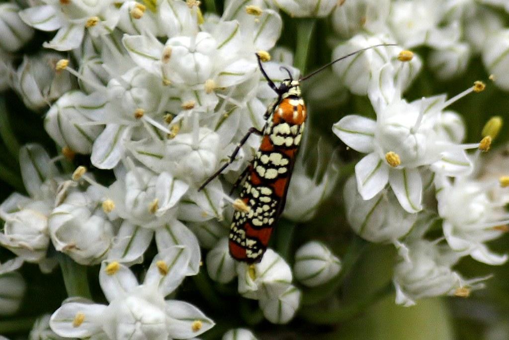 Ailanthus Webworm Moth  4