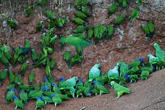 Clay lick (ggallice) Tags: bird rio river ecuador amazon rainforest snake wildlife salt parrot lick parakeet napo orellana pionusmenstruus mealyamazon aratingaweddellii duskyheadedparakeet amazonaochrocephala yellowcrownedamazon blueheadedpionus amazonafarinosafarinosa taxonomy:binomial=amazonafarinosa taxonomy:binomial=pionusmenstruus taxonomy:binomial=amazonaochrocephala taxonomy:binomial=aratingaweddellii