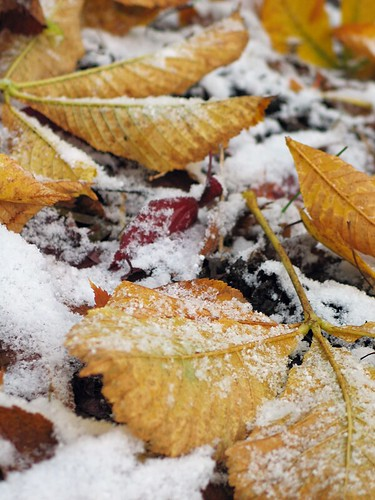 Snow on the leaves, November 23 2010